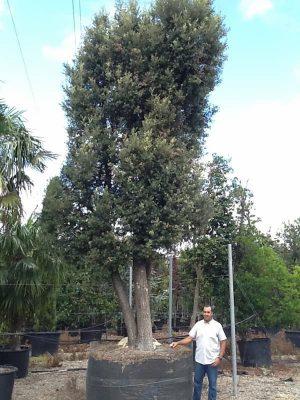 Quercus Ilex de tres brazos
